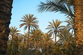 stock photo of oasis  - Palm tree forest in Elche - JPG