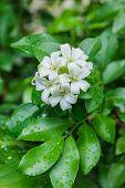foto of white bark  - Cosmetic Bark Tree Satin-wood White flowers called Orange Jessamine ** Note: Soft Focus at 100%, best at smaller sizes - JPG
