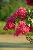 picture of crepe myrtle  - Crepe myrtle tree rural Georgia at someones yard - JPG