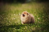foto of miniature pomeranian spitz puppy  - Small Pomeranian puppy standing in the green grass - JPG