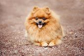 pic of miniature pomeranian spitz puppy  - Small Pomeranian dog lying on the ground - JPG