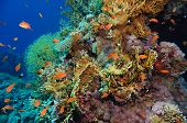 picture of fire coral  - Tropical Anthias fish with corals on Red Sea reef underwater - JPG