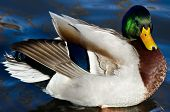 picture of male mallard  - Male Mallard Duck Resting on the Water - JPG