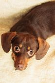 pic of dog breed shih-tzu  - Animals at home - JPG