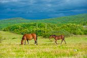 pic of bay horse  - Dark bay horses in a meadow with green grass - JPG