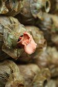 image of spawn  - Pink oyster mushroom  - JPG