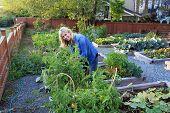 picture of vegetables  - Smiling lady gardener in a community vegetable garden - JPG