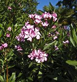 picture of oleander  - Shrub of pink oleander in blossom with flowers - JPG