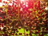 image of elderberry  - A close - JPG