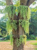 picture of creeper  - Green creeper plant on the big tree in the park - JPG