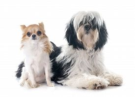 stock photo of tibetan  - tibetan terrier and chihuahua in front of white background - JPG