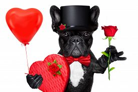 picture of bulldog  - valentines french bulldog dog holding a present box a balloon and a red rose isolated on white background - JPG