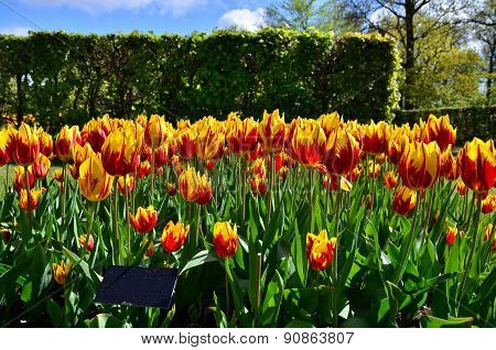Tulipa Mickey Mouse Flowers In