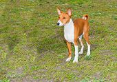 stock photo of larynx  - Basenji left side is on the grass in the park - JPG