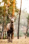 foto of jousting  - Majestic powerful adult male red deer stag in autumn fall forest - JPG