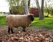 stock photo of covered bridge  - A cute woolly sheep with bright eyes stands in a meadow looking with a red covered bridge and farmland in the background - JPG