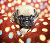 picture of chug  - a cute chug pug puppy in a polka dot blanket looking at the camera  - JPG