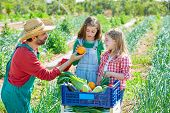 picture of orchard  - Farmer man showing vegetables harvest to kid girls in orchard - JPG