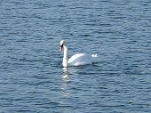 foto of webbed feet white  - White swan on a pond quietly basking in the rays of the autumn sun preparing for departure to warmer country - JPG