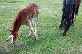 picture of colt  - A colt with sprawling legs and black horse eating grass on meadow - JPG