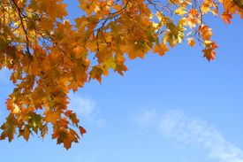 pic of fall leaves  - red and yellow fall leaves on blue sky background - JPG