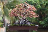 picture of bonsai tree  - Banyan or ficus bonsai tree - JPG