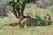 ������, ������: Pride Of Lions Africa