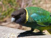 picture of ringneck  - this is a port lincoln ringneck parrot - JPG