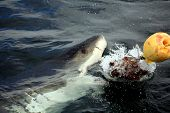 foto of great white shark  - a white shark tries to catch the bait at a cage diving in gaansabi south africa - JPG