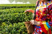 Farmer Picking Tea Leave In The Terraced Tea Fields. Two Woman Collecting Some Green Tea Leaf.tea Is poster