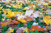 Autumn Leaves In Grass. Park In City. Maple, Yellow Foliage. Colorful Foliage. Sunlight. poster