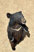 Asiatic Black Moon White Chested Bear, Himalayan Or Ussuri Bear. Bear Stands On Its Hind Legs. View  poster