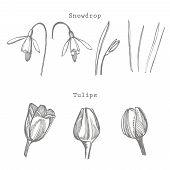 Tulip And Snowdrop Flower Graphic Sketch Illustration. Botanical Plant Illustration. Vintage Medicin poster
