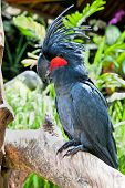 pic of palm cockatoo  - Palm Cockatoo Parrot in nature surrounding  - JPG