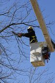 image of tree trim  - A tree company trimming dead limbs from a big hardwood tree - JPG