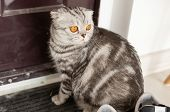 Beautiful Gray Lop-eared Scottish Cat Walks Around A Door While Studying Its New Housing. The Concep poster