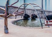 Asiatic Black Bears Drinking From Pool Of Water In Cage At Local Zoo. poster