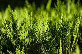 Background Of Green Cypress Foliage. Sprigs Of Cypress Close-up. Green Branches Of Cypress And Black poster