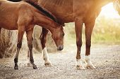 Red Foal Next To The Mare On The Background Of Bales Of Hay. poster
