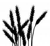 foto of corn stalk  - illustration with wheat silhouettes isolated on white background - JPG