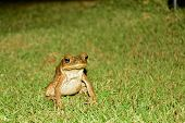 Portrait Of A Cane Toads (rhinella Marina). This Is A Large Heavily-built Amphibian With Dry Warty S poster