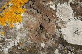 picture of lichenes  - Colonies of sunburst lichen and brain lichen Xanthoria parietina and Diploicia canescens on rock - JPG