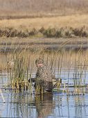 image of pintail  - Duck hunter hiding in the weeds for ducks - JPG
