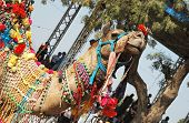 Beautiful Decorated  Dromedary Camel At Camel Fair In Holy Hindu Town Pushkar, Rajasthan,india