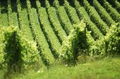 pic of dork  - Rows of vines in english vineyard at Dorking - JPG