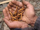 stock photo of viagra  - Collecting harvest of Yarchagumba in Nepalese Himalayas - JPG