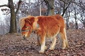 image of headstrong  - orange donkey standing in the forest in late autumn - JPG