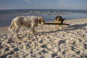 foto of english setter  - english setter and german shepherd on sand beach coast in Poland - JPG