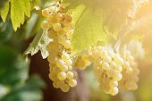 picture of hungarian  - White grapes in the vineyard by Sunshine - JPG