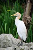 Cattle Egret In Nature